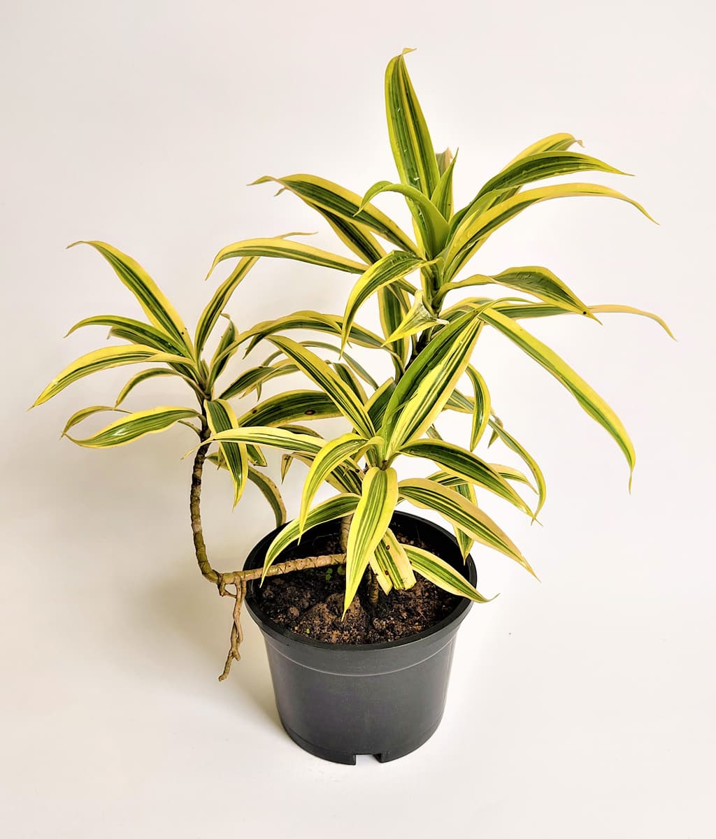 Dracaena Reflexa Song of India Peppyflora Product 01 a moz