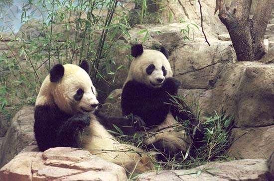 Giant pandas National Zoological Park Washington DC