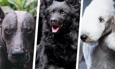 Top 10 Rarest Dog Breeds In The World
