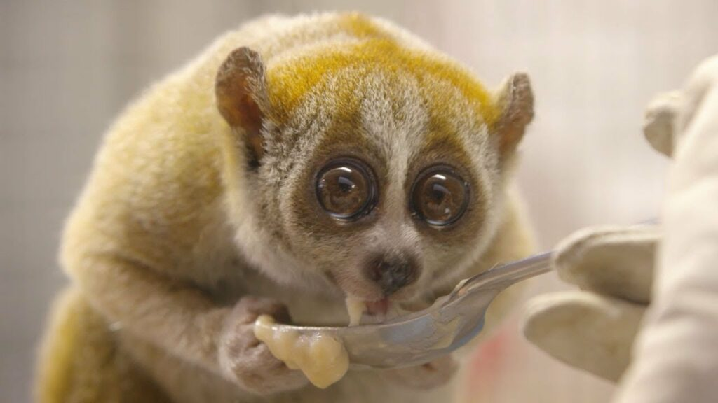 Slow lorises are the only venomous primate