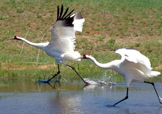 Whooping cranes International Crane Foundation Baraboo Wisconsin
