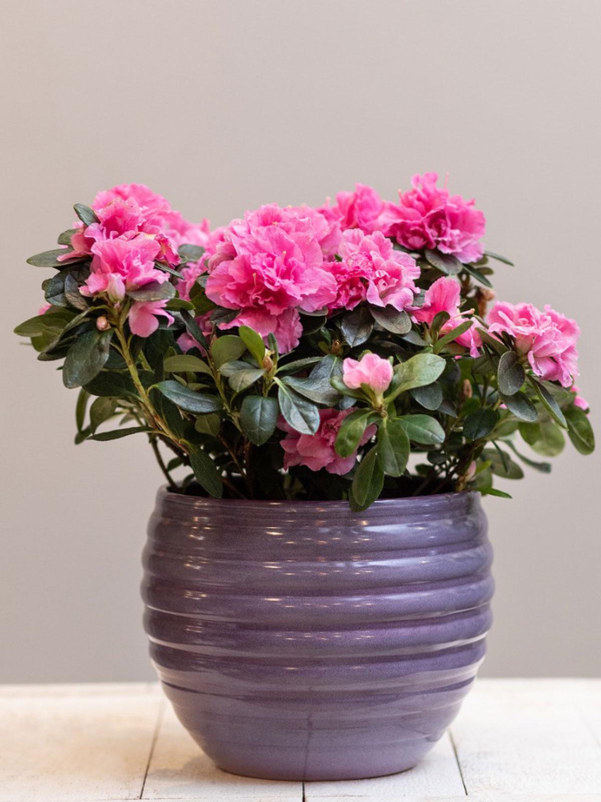 azalea houseplant