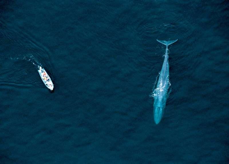 boat blue whale Sea of Cortez