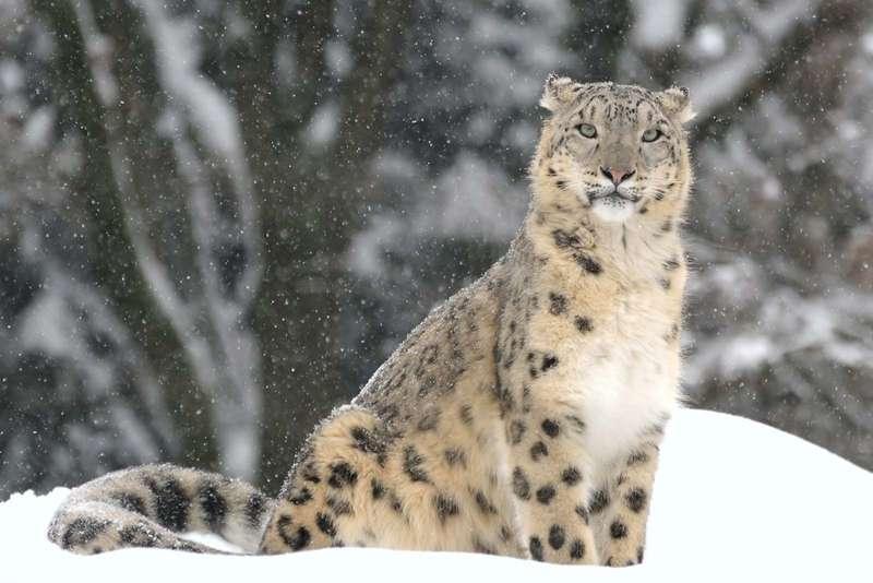 carnivore Snow leopard regions subcontinent Asia Indian