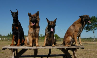 four dogs 2837106