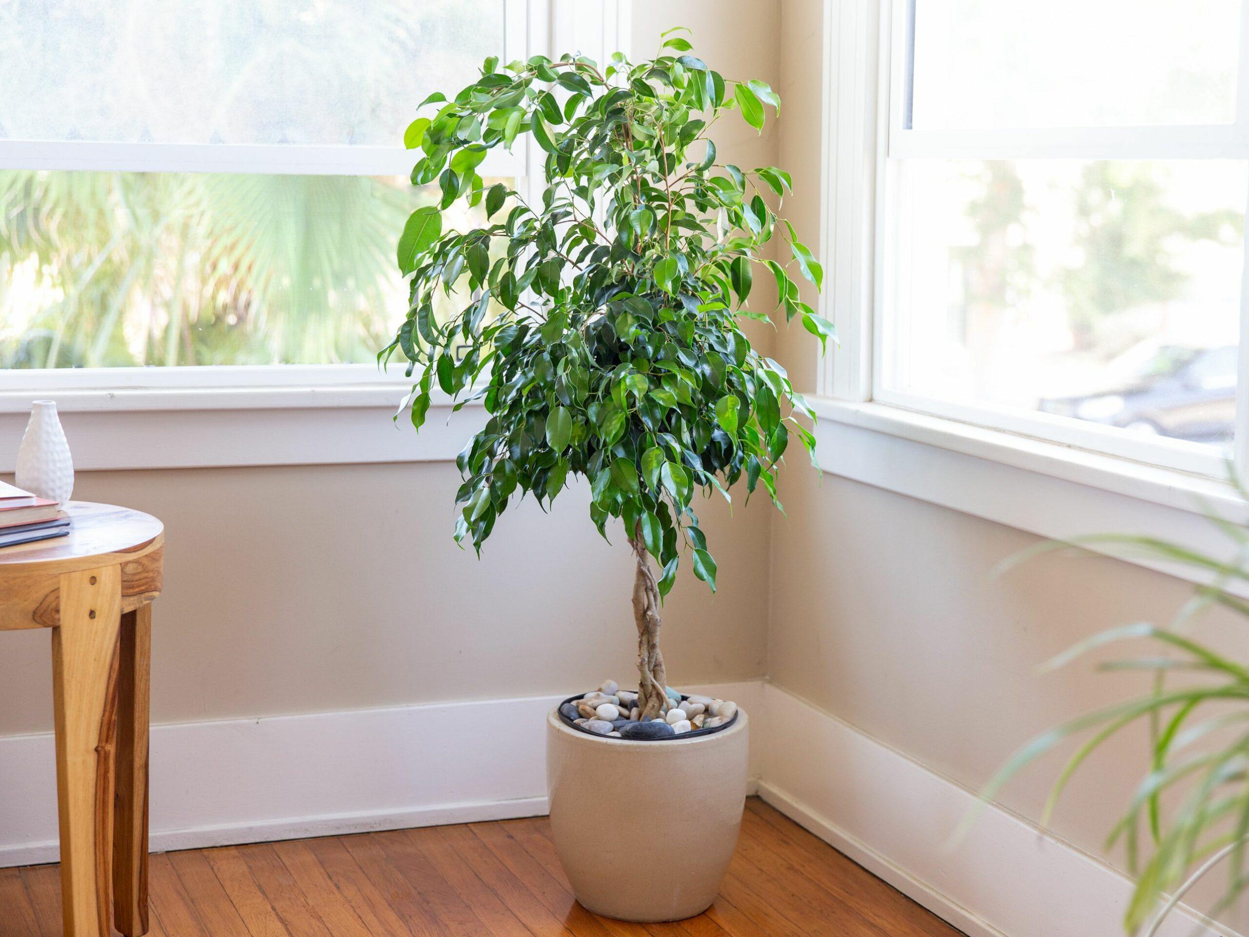 grow ficus trees 1902757 1 80b8738caf8f42f28a24af94c3d4f314 scaled