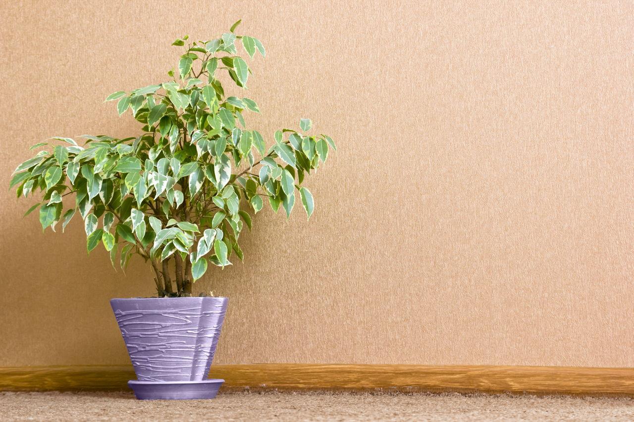 Pipal Tree - Gardenerdy