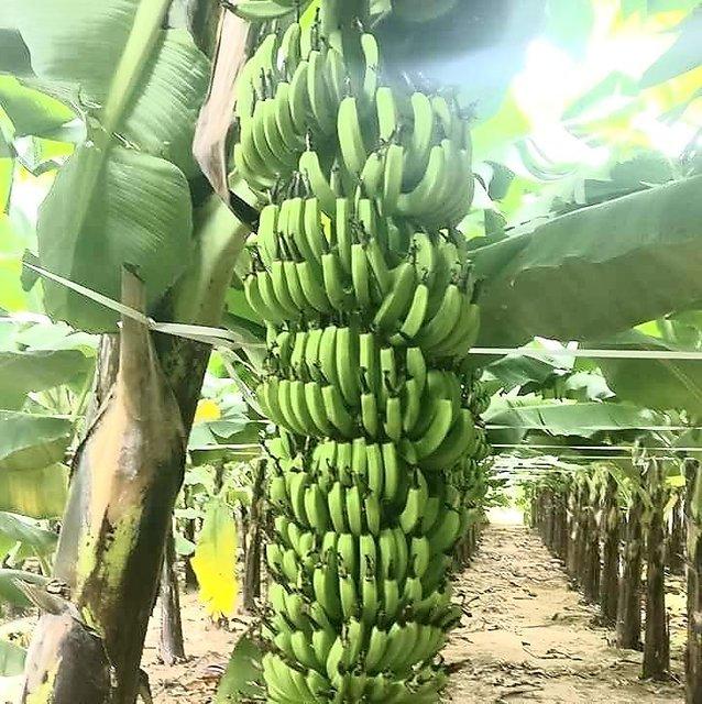 Lady's Finger bananas