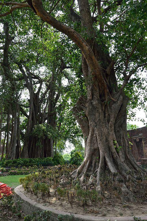 Indian Banyan Tree And Peepal Tree | Tree, Banyan tree, Beautiful nature pictures