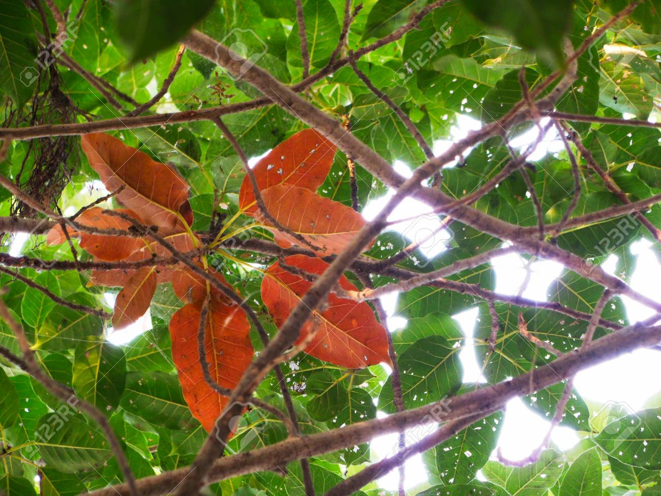 Banyan Tree Red Leaves With Green Leaves In Background Stock Photo, Picture And Royalty Free Image. Image 90230633.
