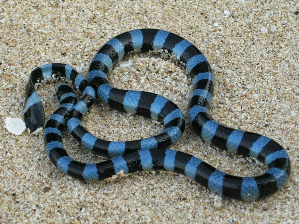 a blue and black lipped sea krait snake