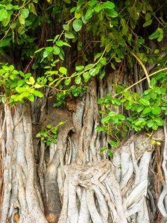 Banyan Tree: Ficus benghalensis: Uses, Research, Remedies, Side Effects