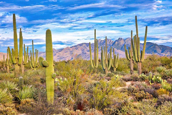 Cactus in the desert near Phoenix