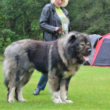 7 Things about Caucasian Mountain Shepherd Future Owner Should Know