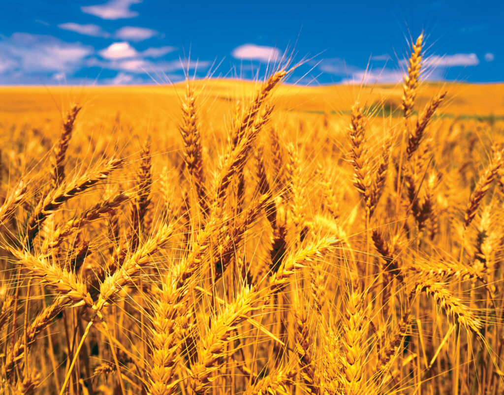 Cereal crops wheat reproduction