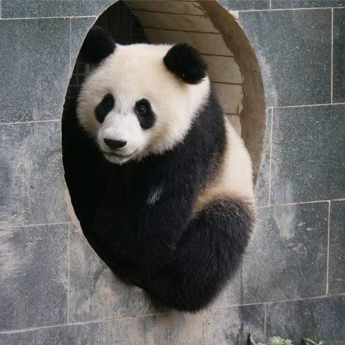 Panda Facts | Pandas International