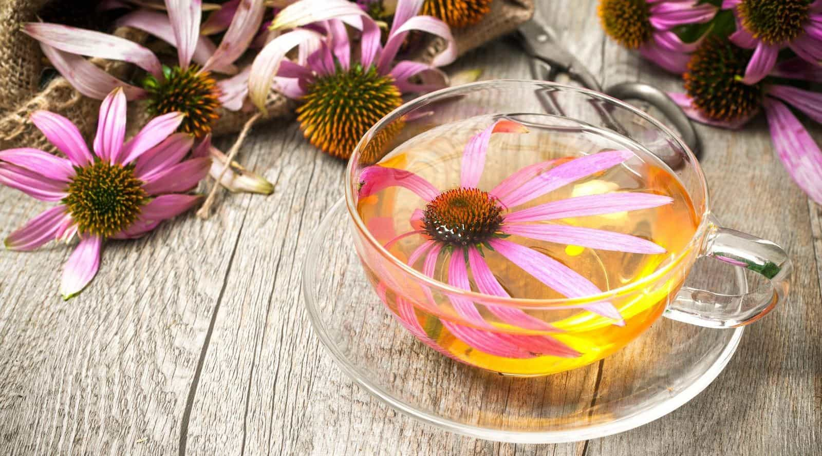 What Is Echinacea Tea? And Can It Help a Cold? – TopicTea