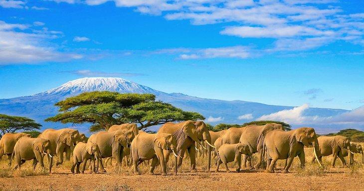 Elephants in front of Mount Kilimanjaro