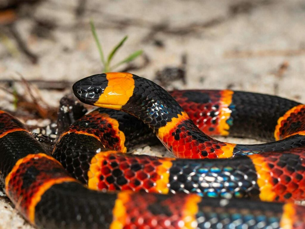 a venomous Eastern Coral Snake