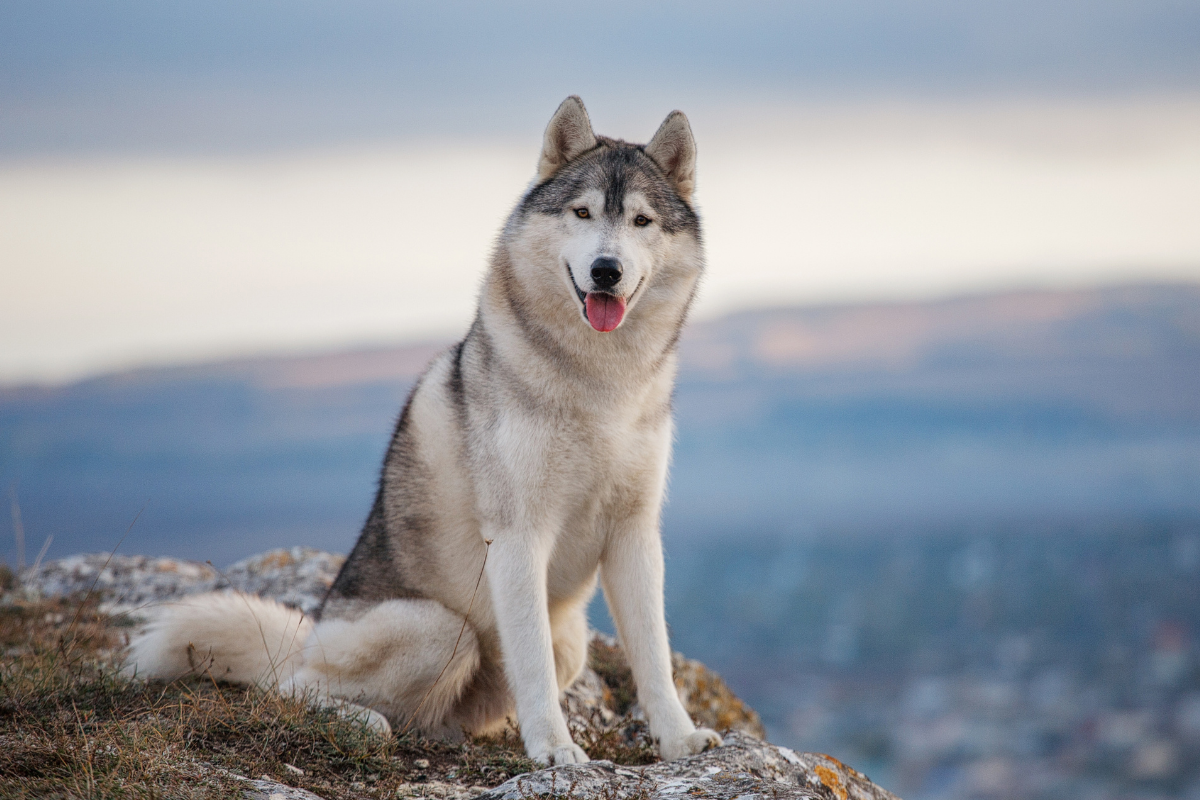 Want to Own a Husky? Consider These 5 Things First