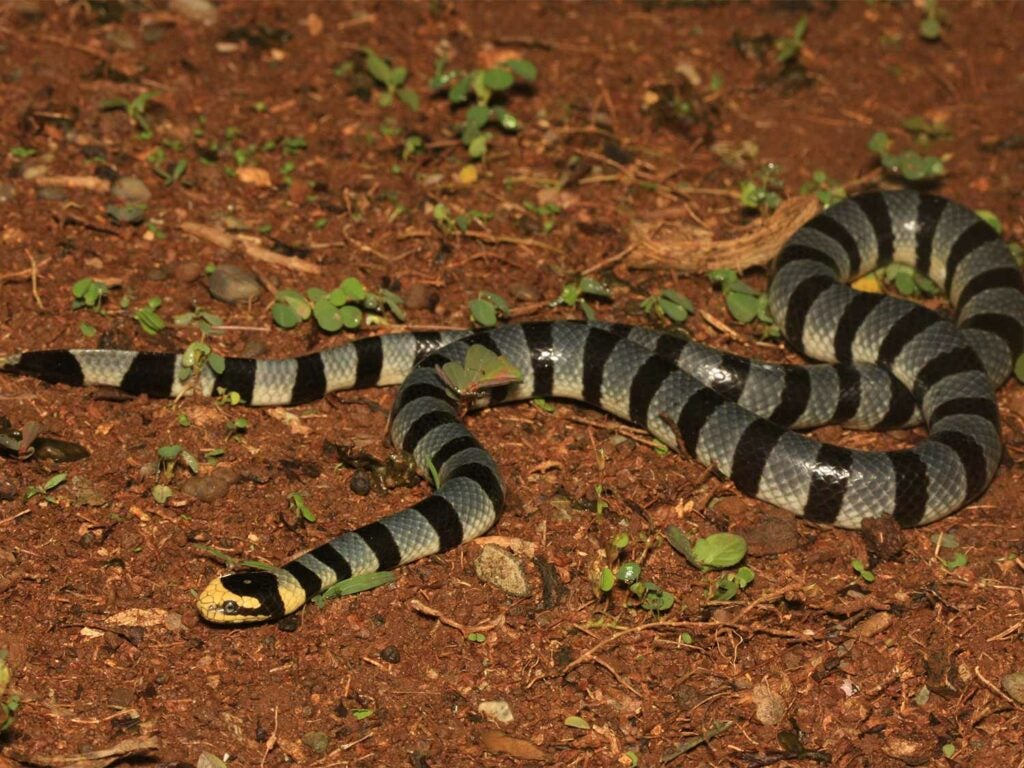common yellow-lipped sea krait