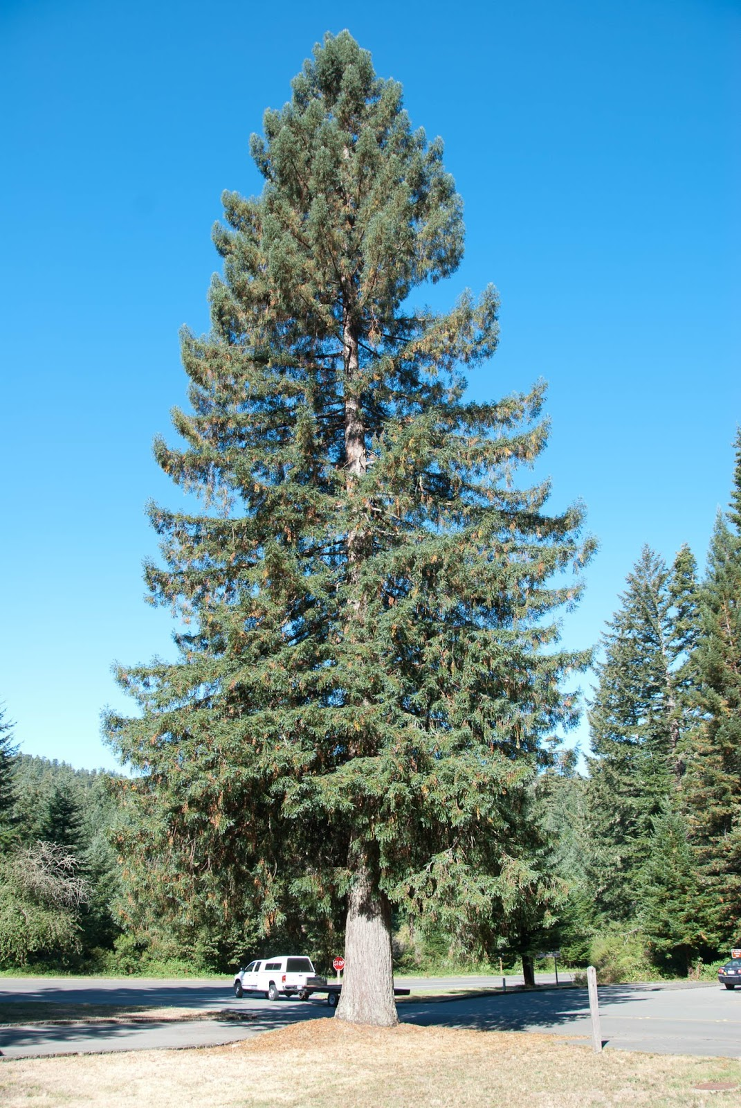 Trees Planet: Picea sitchensis – Sitka Spruce