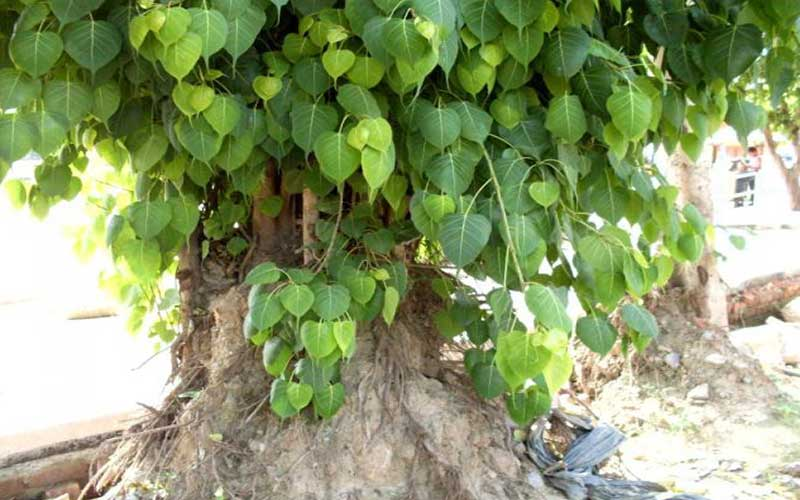 Peepal Tree And Its Worship In Indian Culture - Rgyan