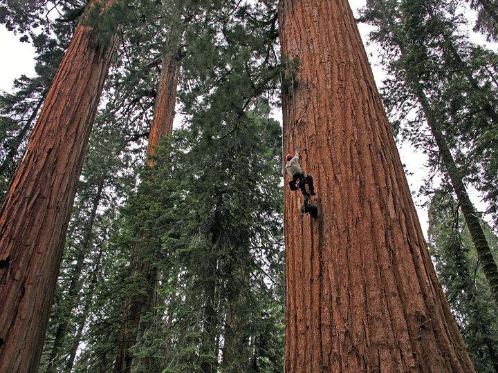 Giant Sequoia | Save the Redwoods League