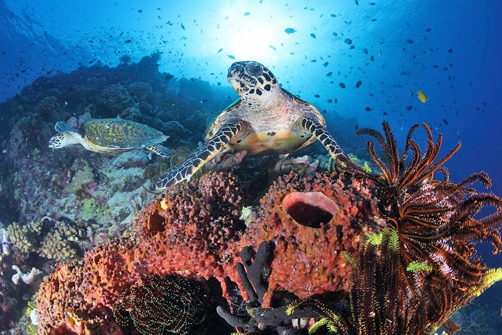 Sea turtles at Madang