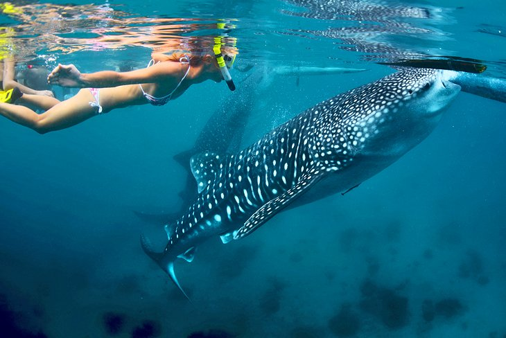 Snorkeling with whale sharks in the Bay of Donsol