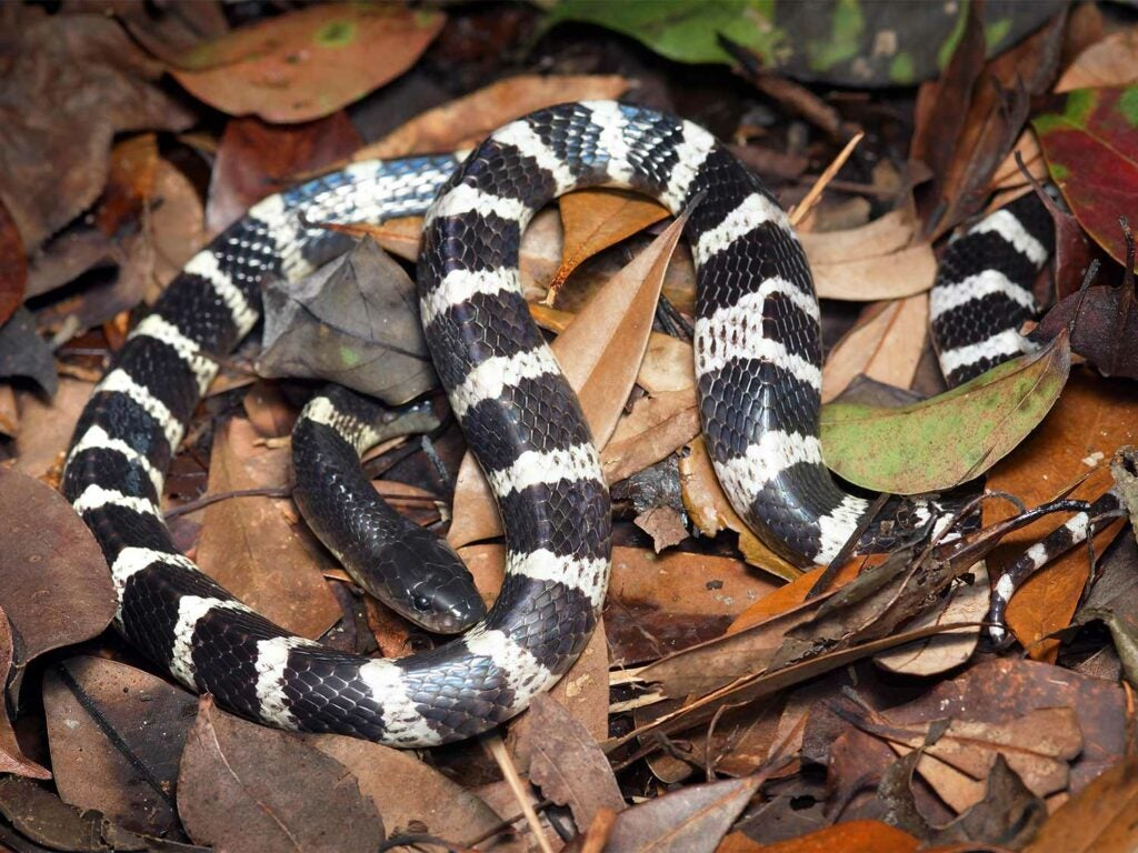 a many branded krait snake in brown leaves