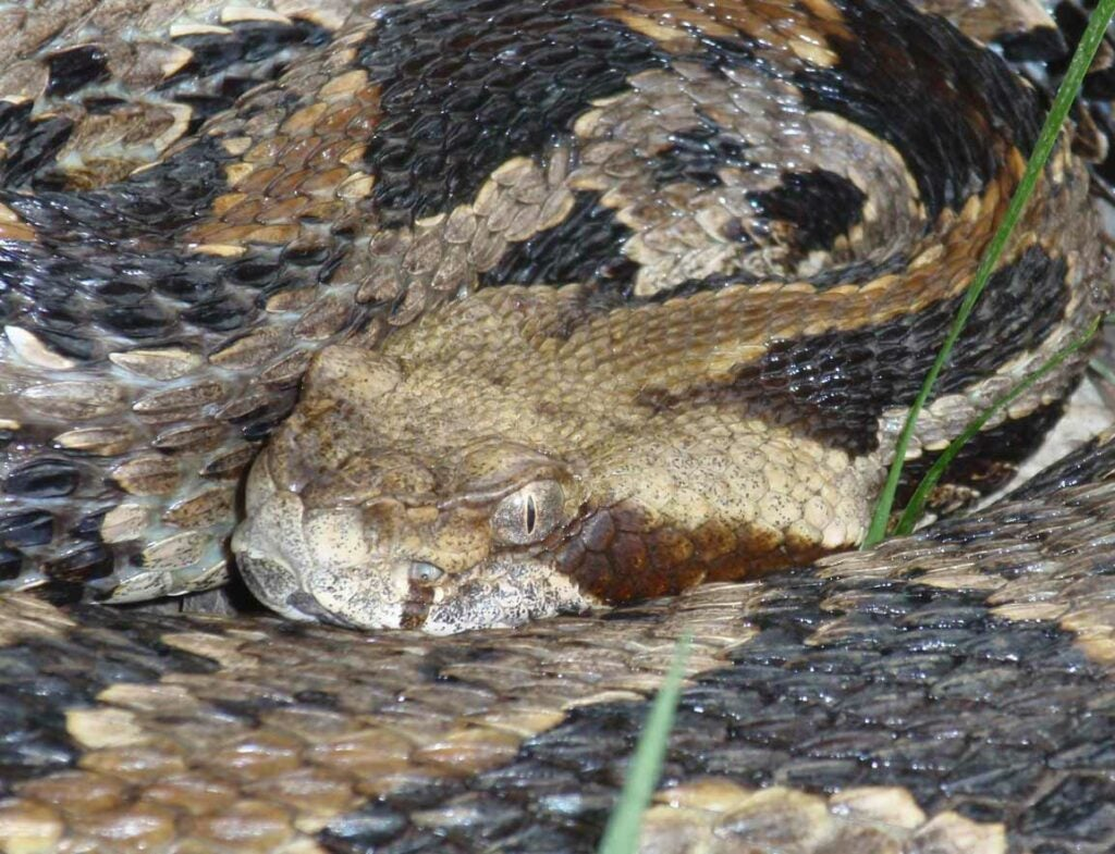 a coiled up timber rattlesnake