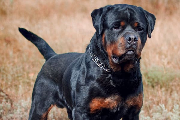 Are Rottweilers Friendly With Strangers: What to Expect | Anything Rottweiler