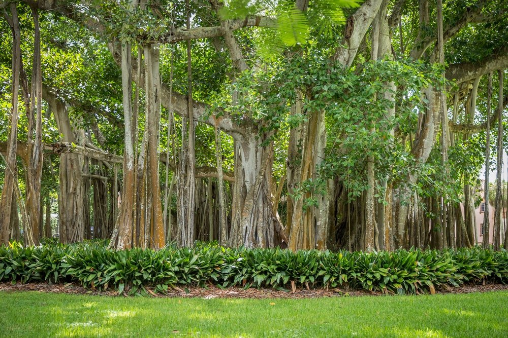 What is a Banyan Tree? (Origins and Botanical Characteristics) - Home Stratosphere