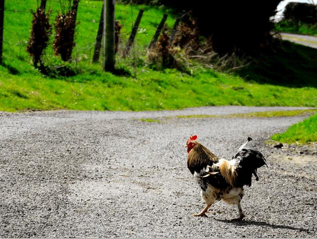chickens in Quitman