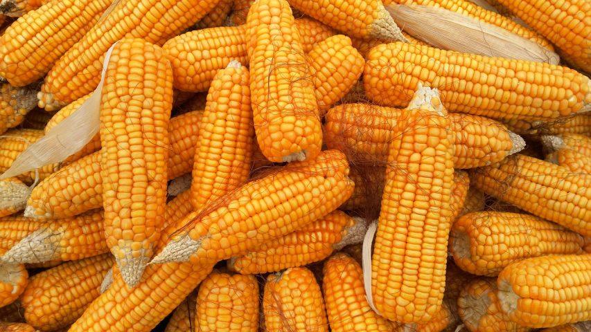 dati aggiornati sulla produzione di mais nel mondo 853x480 1
