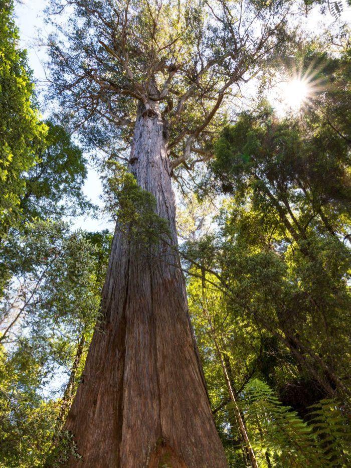 Alpine ash (Eucalyptus delegatensis) | Tree, Beautiful tree, Eucalyptus