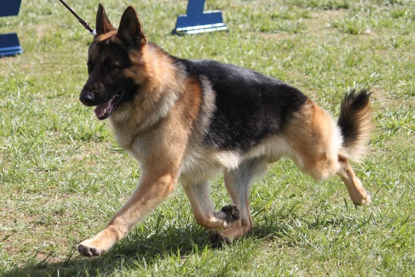 German Shepherd Dog Breed Information, German Shepherd Dog Images, German Shepherd Dog Dog Breed Info