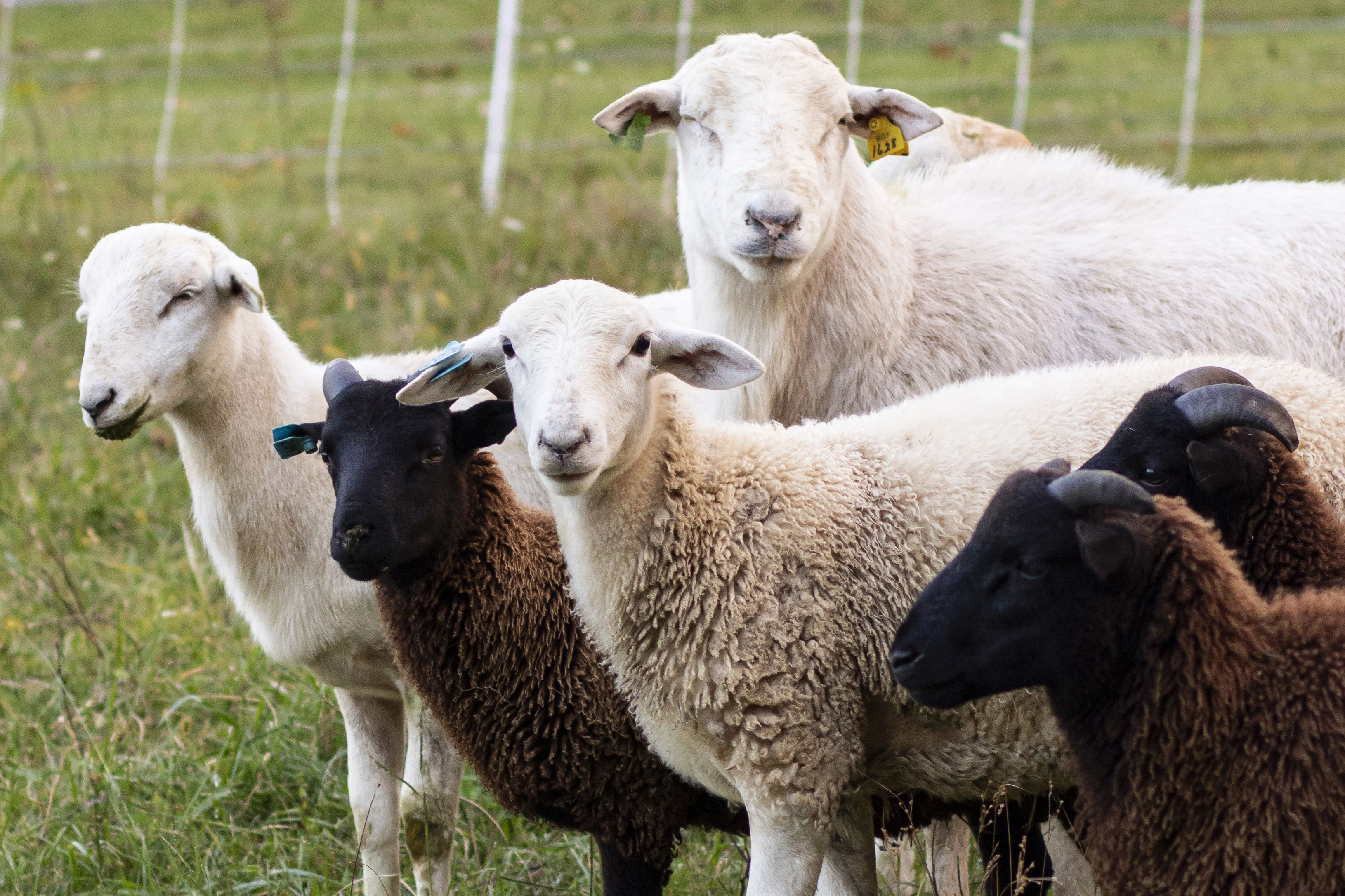 The Difference Between Sheep and Goats