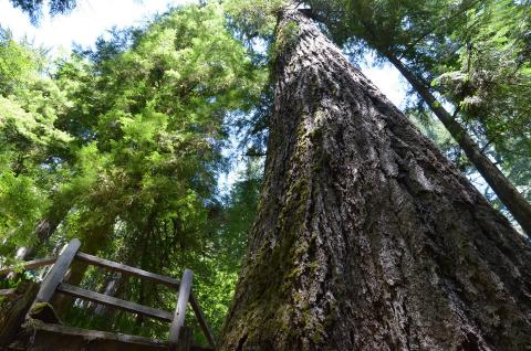 Arbnet | Doerner Fir tucked deep in Coos County forest is world's tallest non-redwood tree