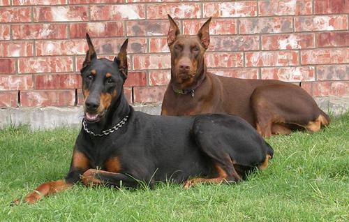 Doberman Pinscher | SAKC Dogs Wiki | Fandom
