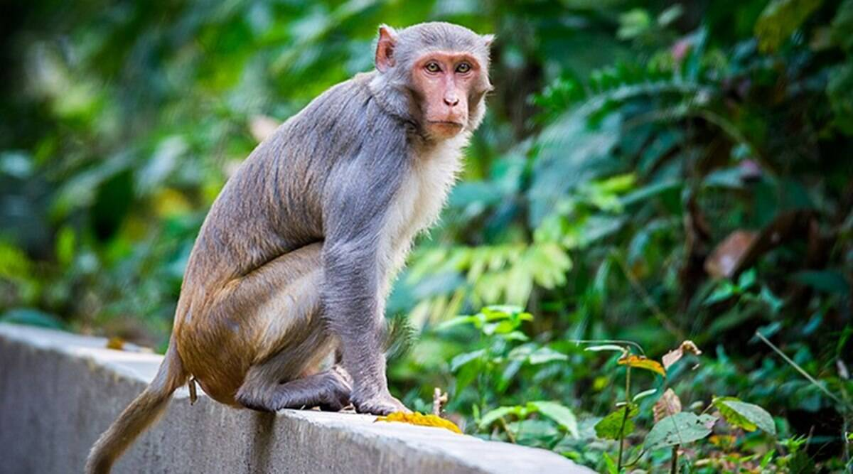 PETA announces reward for information on monkey held captive by Chandigarh tattoo artist | Cities News,The Indian Express