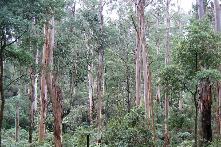 Sign onto the submission to protect Mountain Ash Forests – Mountain Journal