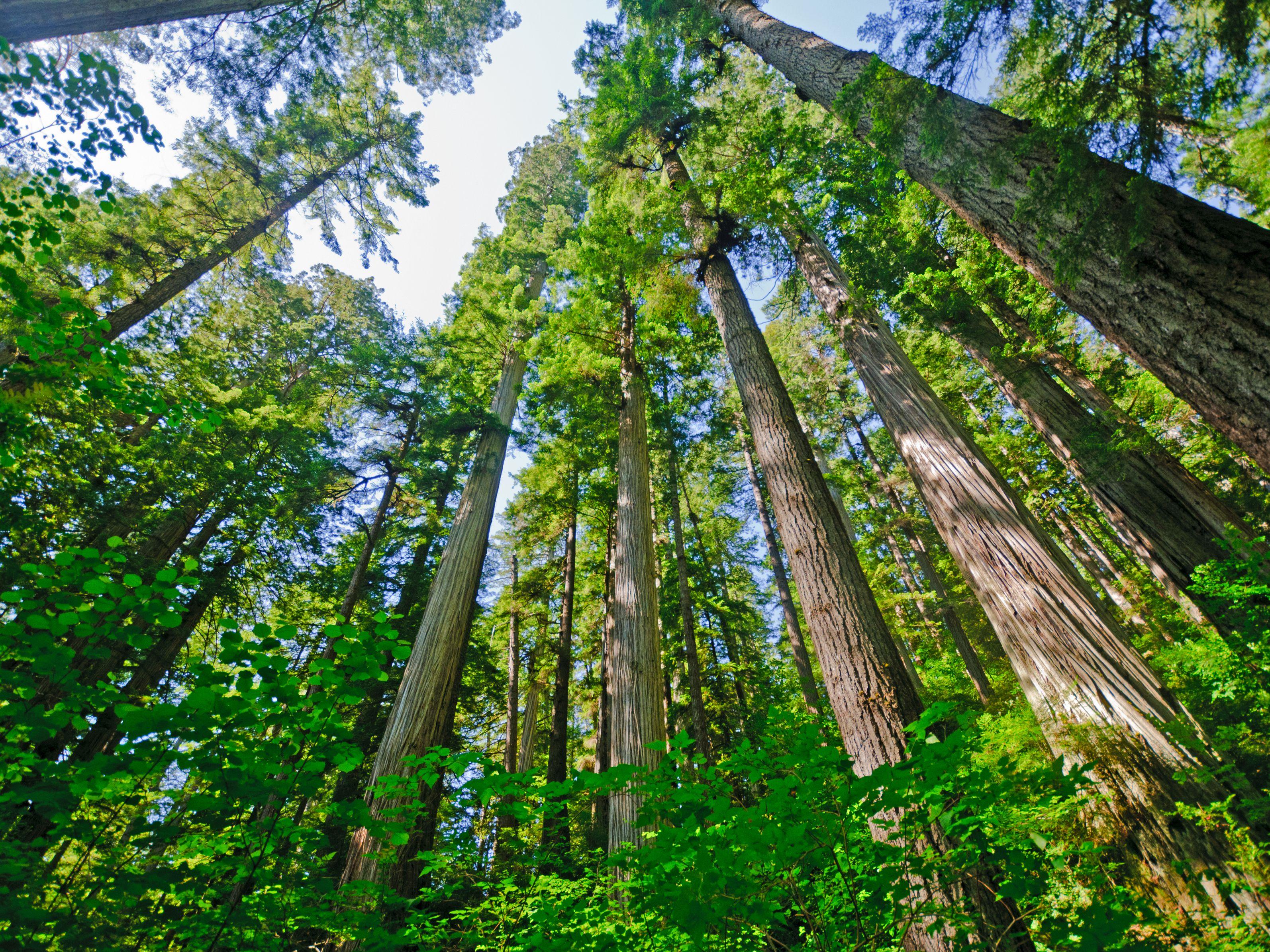 Coast Redwoods: Majestic Giants Benefit All Humankind
