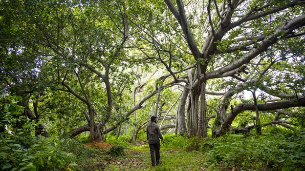 BBC - Travel - Thimmamma Marrimanu: The world's largest single tree canopy
