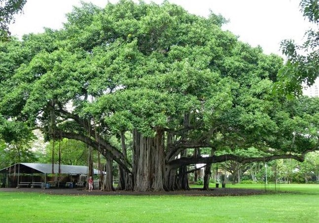 16 health benefits of the peepal tree that you had no idea about - Lifestyle News