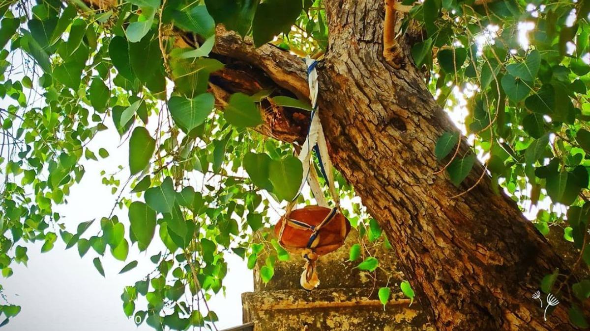 Vastu Shastra: Never plant Peepal tree at home. Here's why | Vastu News – India TV