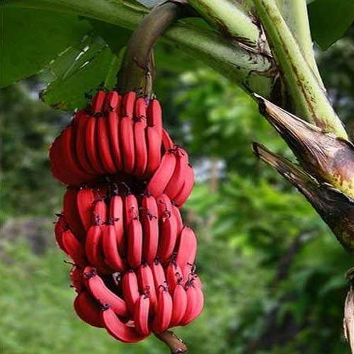 Red bananas