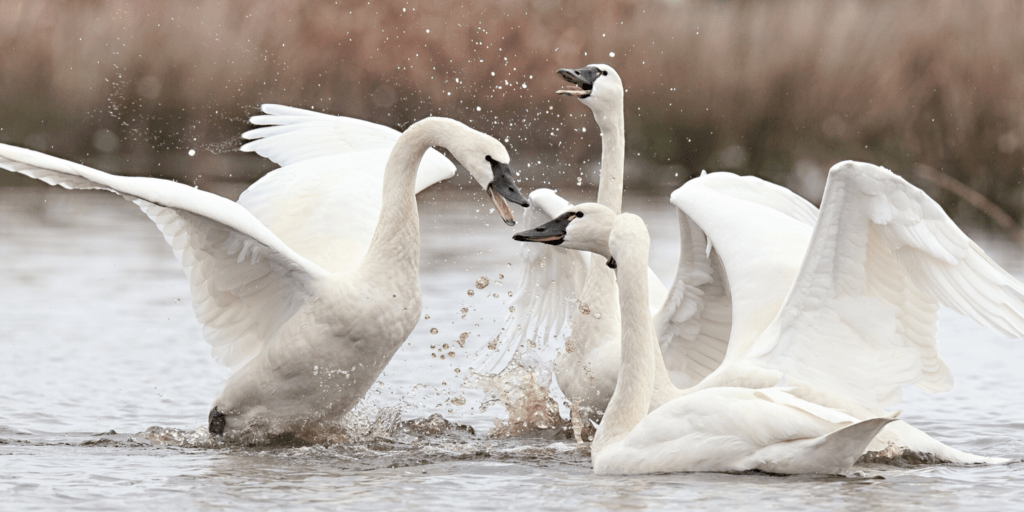 Swan Song: 5 fun facts about these majestic creatures • The National Wildlife Federation Blog : The National Wildlife Federation Blog