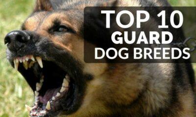 Top 10 Guard Dog Breeds